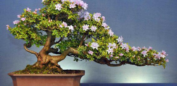 Bonzai ağacı nasıldır