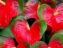 Antoryum çiçeği Bakımı Kolay Yol (Flamingo Çiçeği)