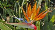 starliçe çiçeği nasıl bakılır