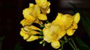 frezya çiçeği nasıl bakılır?