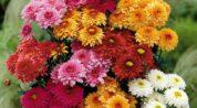 Kasımpatı çiçeği ne işe yarar?
