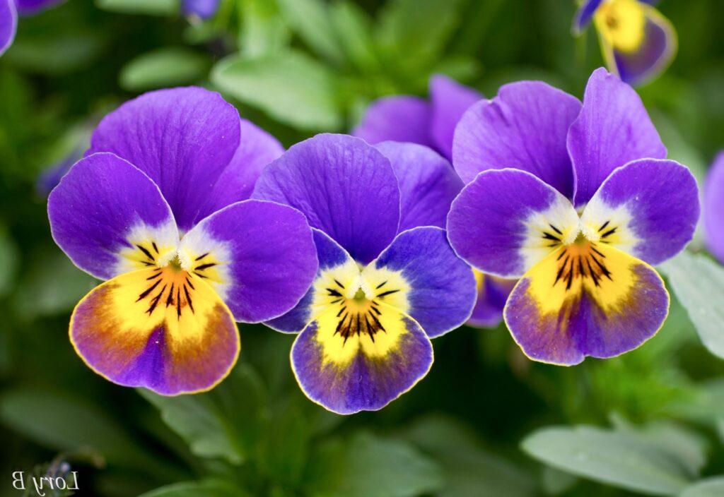 menekşe çiçeği nasıl bakılır?